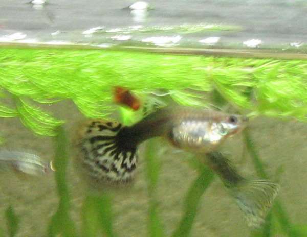 Гуппи самец гоняет беременную самку 94